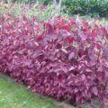 lebeda na zahradě