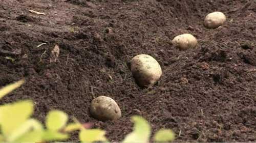 Sadba brambor