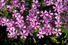 Tařička (Aubrieta x cultorum)