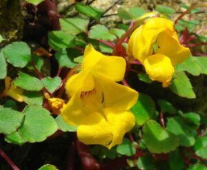 Impatiens - repens