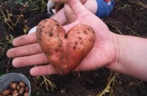brambor srce